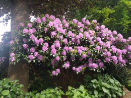 Spectacular rhododendron