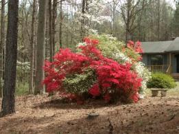 Blooming azaleas